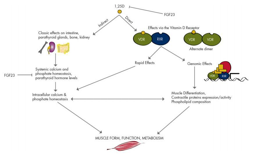 what organ produces steroid hormones and glucocorticoids and mineralocorticoids