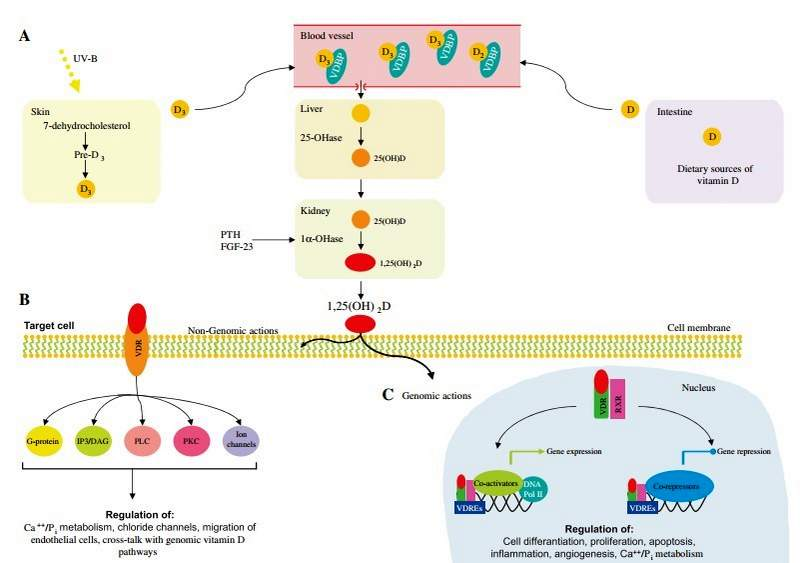 Telomeres (which extend life) appear to be extended by Vitamin D