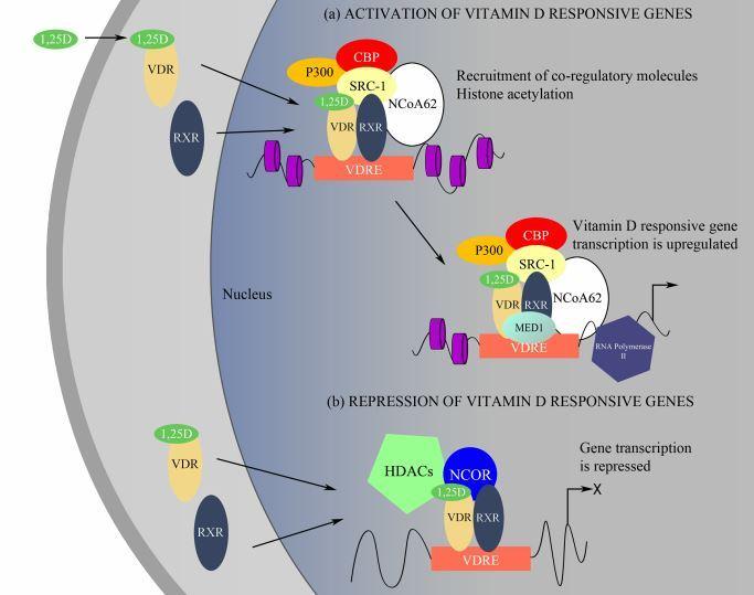 Resultado de imagen de Vitamin D receptors