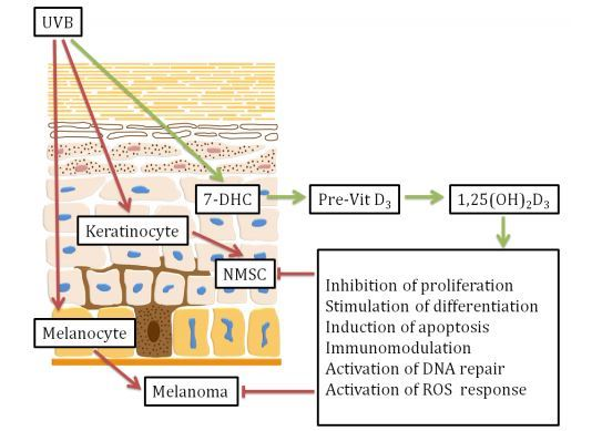 Skin physiology, pathology and vitamin D - review Jan 2016 |